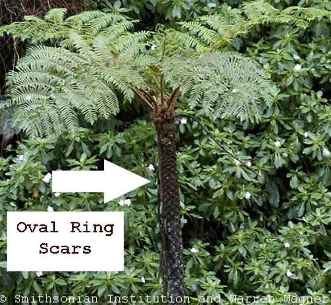 Australian Tree Fern Hawaii Early Detection Network