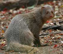 mongoose flower